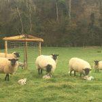 Newly-born lambs © Isabelle van Groeningen