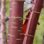 Prunus serula © Isabelle van Groeningen