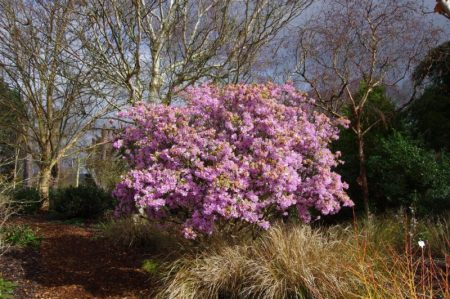 Rhododendron 'Olive' - spring © Isabelle van Groeningen