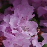 Rhododendron 'Olive' flower © Isabelle van Groeningen