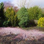 Rubus cockburnianus 'Golden Vale' © Isabelle van Groeningen