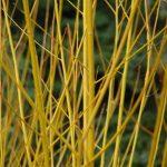 Salix alba 'Britzensis' © Isabelle van Groeningen