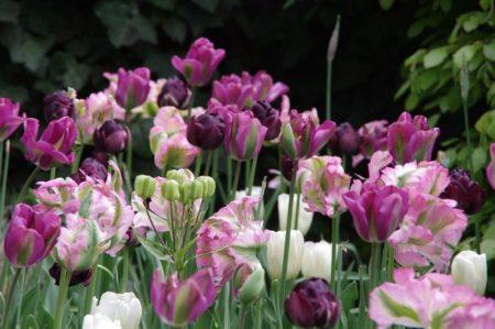 Kühle Tulpen © Isabelle van Groeningen