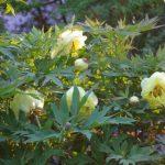 Paeonia 'High Noon' - Strauchpfingstrosen © Isabelle van Groeningen