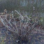 Strauchpfingstrosen Rückschnitt © Isabelle van Groeningen
