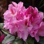 Rhododendron 'Furnivall's Daughter' im Mai © Isabelle van Groeningen