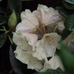 Rhododendron 'Goldbukett' im Mai © Isabelle van Groeningen