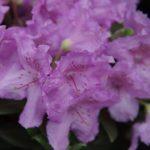Rhododendron 'Lavendula' im Mai © Isabelle van Groeningen