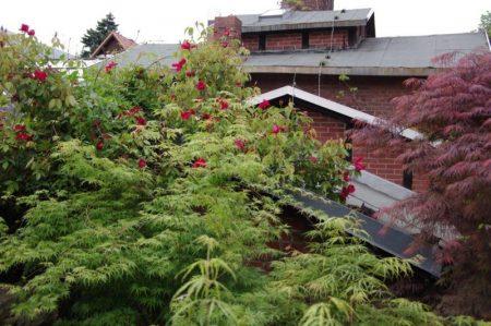 Rosa 'Benghal Crimson' im Mai © Isabelle van Groeningen