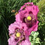 Bienenweide: Mohn in der Königlichen Gartenakademie © Isabelle van Groeningen