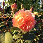 Rosa 'Lady Emma Hamilton' © Isabelle van Groeningen