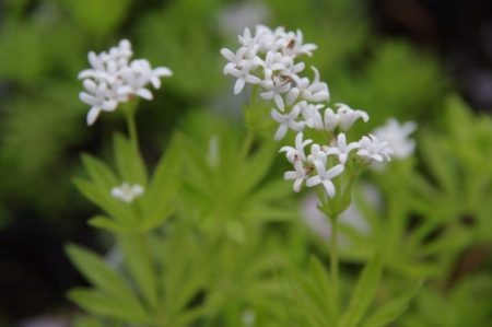 Galium odoratum Blüte - Griechenland © Isabelle van Groeningen