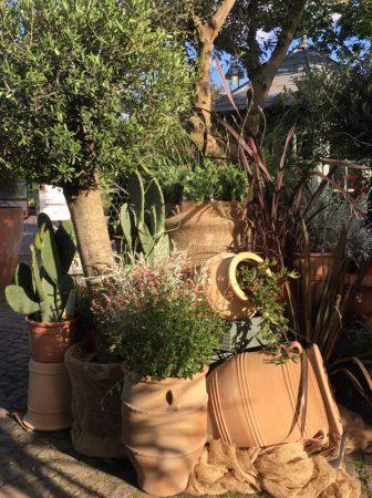 Olivenbäume - griechische Wochen in der Gartenakademie