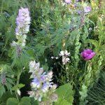 Muskatellasalbei Salvia sclarea var. Turkestanica: der zweijährige muskatellsalbei ist von Insekten beliebt und blüht den Sommer lang © Isabelle van Groeningen