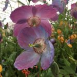 Chatsworth Flower Show 2019 - Meconopsis 'Barneys Blue' © Isabelle van Groeningen