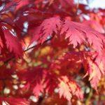 Acer aconitifolium Jahreszeiten - Herbst © Isabelle van Groeningen
