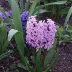 Hyacinth 'Splendid Cornelia' © Isabelle van Groeningen