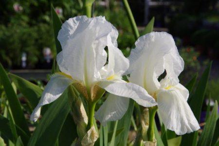 Iris 'Dame Blanche' © Isabelle van Groeningen