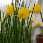 Narcissus bulbocodium 'Golden Bells' © Isabelle van Groeningen