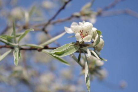 Bäume - Pyrus salicifolius pedula - Weidenblätterige Birnen © Isabelle van Groeningen