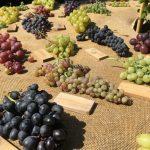 Alte Weintraubensorten - italienische Gartenkultur © Isabelle van Groeningen