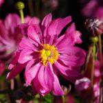 Anemone japonica 'Bressingham Glow' © Isabelle van Groeningen