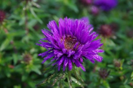 Asters - Aster 'Purple Dome' © Isabelle van Groeningen
