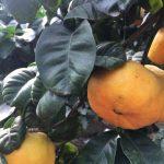 Citrus aurantium 'Crispifolia' © Isabelle van Groeningen