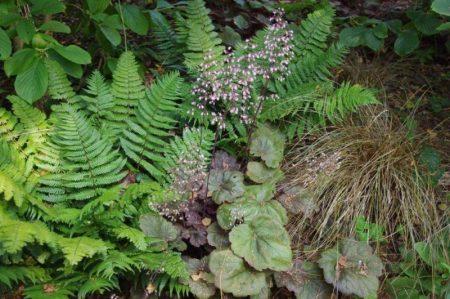Enge Bepflanzung von Bodendecker mit Heuchera villosa Sämlingen, Carex und Farne© Isabelle van Groeningen