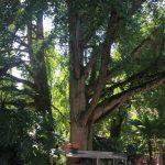 Ginkgobäume im Botanischer Garten © Isabelle van Groeningen