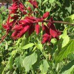 Salvia vanhouttei © Isabelle van Groeningen
