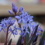 Blausternchen © Isabelle van Groeningen