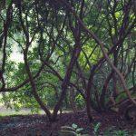 Transparente Rhododendron © Isabelle van Groeningen