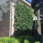 Zitrusspalier an Hauswand - italienische Gartenkultur © Isabelle van Groeningen