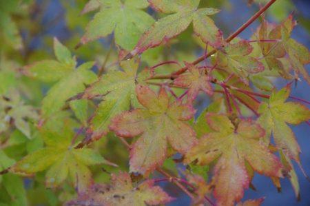 Color in Autumn - Acer palmatum 'Bi-Hoo' © Isabelle van Groeningen