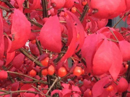 Euonymus alatus 'Compactus' Autumn colour © Isabelle van Groeningen