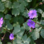 Geranium pyeranicum 'Bill Wallis' © Isabelle van Groeningen