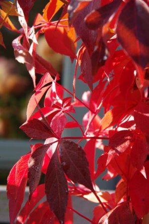 Color in automn - Parthenocissus quinquefolia 'Engelmanii' Farbe im Frühherbst © Isabelle van Groeningen