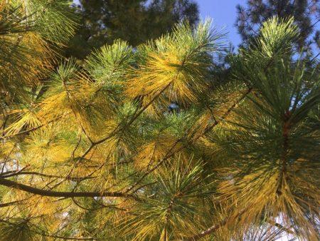 Pinus strobus © Isabelle van Groeningen