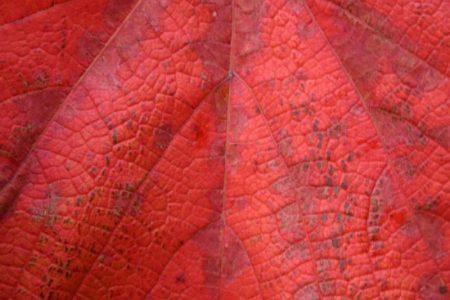 Vitis coignetii leaf © Isabelle van Groeningen