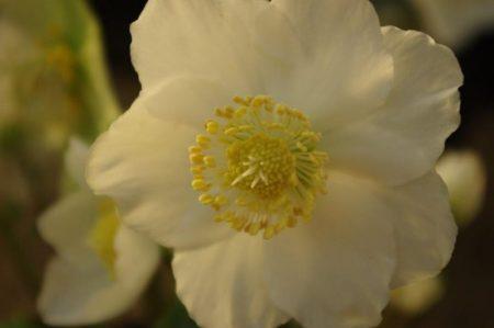 Helleborus niger Blüte - Flower © Isabelle van Groeningen