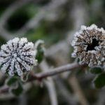 Poppy - Mohn - Frost © Isabelle van Groeningen