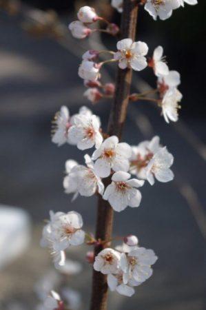 Prunus 'Trailblazer' © Isabelle van Groeningen