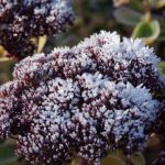 Sedum frost © Isabelle van Groeningen