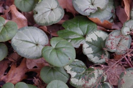 Cyclamen coum Laub - Immergrüne © Isabelle van Groeningen