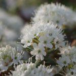 Ledum groenlandicum 'Helma' © Isabelle van Groeningen