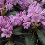 Rhododendron Inkarho Dufthecke 'Lila' © Isabelle van Groeningen