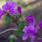 Rhododendron dauricum © Isabelle van Groeningen