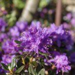 Heidekrautgewächse Rhododendron impeditum 'Azurika' © Isabelle van Groeningen