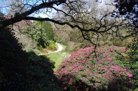 Rhododendron in Glendurgan, Cornwall © Isabelle van Groeningen